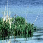 Photo of a bird in a Goose Creek, SC marsh